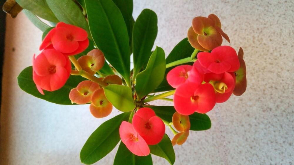 Euphorbia milii (Spina christi) - Particolare