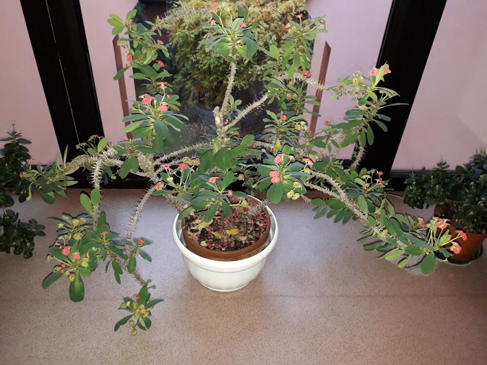 Euphorbia milii - Spina christi